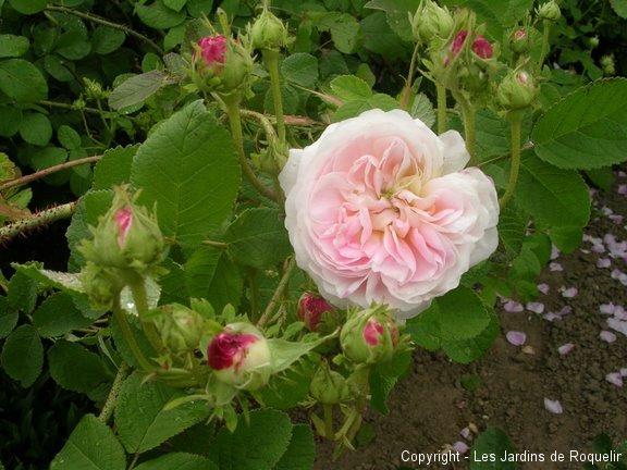 blanche-fleur
