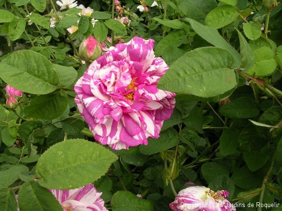 r-gallica-versicolor